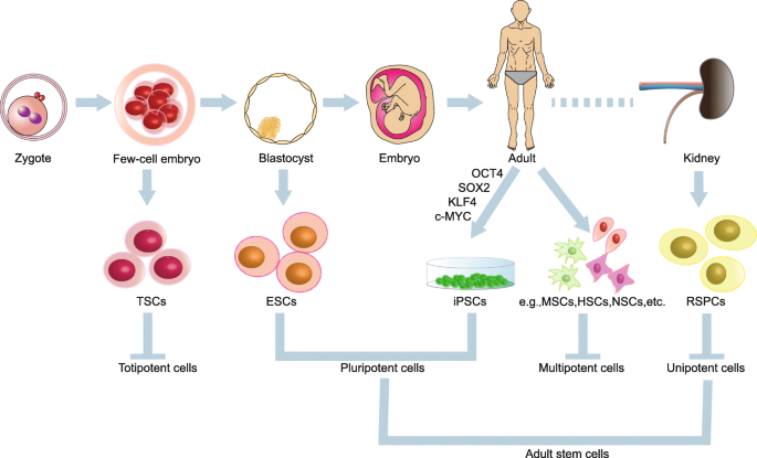 Stem Cells A Potential Treatment Option For Kidney Diseases Stem Cell Research Therapy Full Text