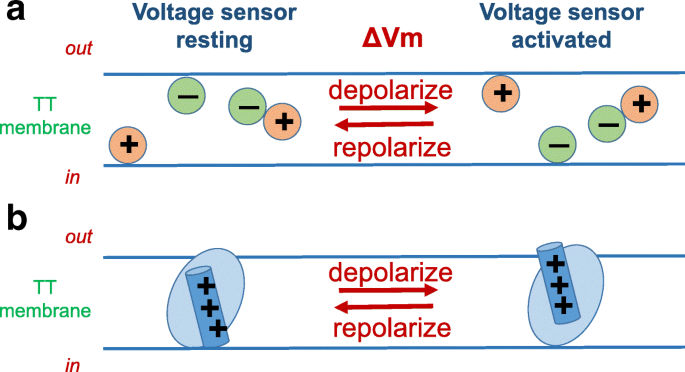 Voltage sensing mechanism in skeletal muscle excitation-contraction