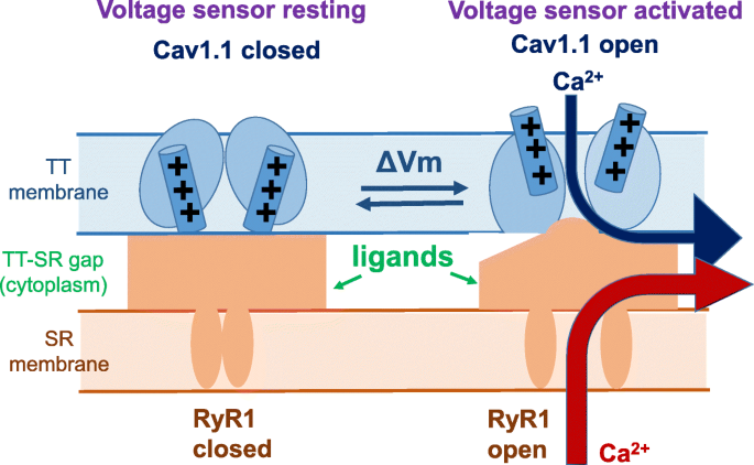 Voltage sensing mechanism in skeletal muscle excitation-contraction