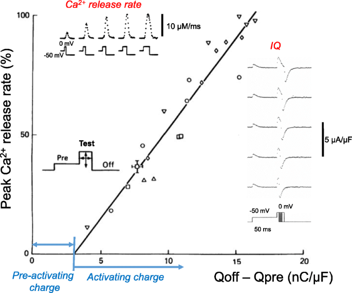 Voltage sensing mechanism in skeletal muscle excitation