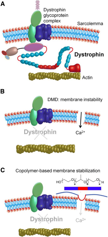 Muscle membrane integrity in Duchenne muscular dystrophy