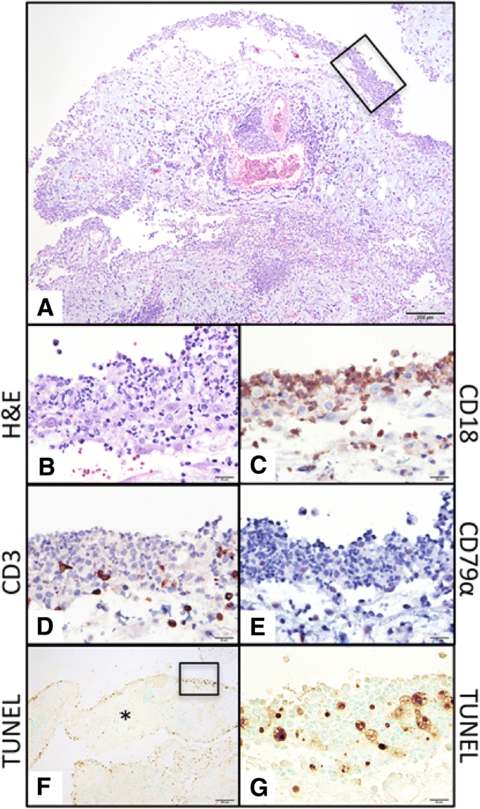 Characterization of peritoneal cells from cats with experimentally
