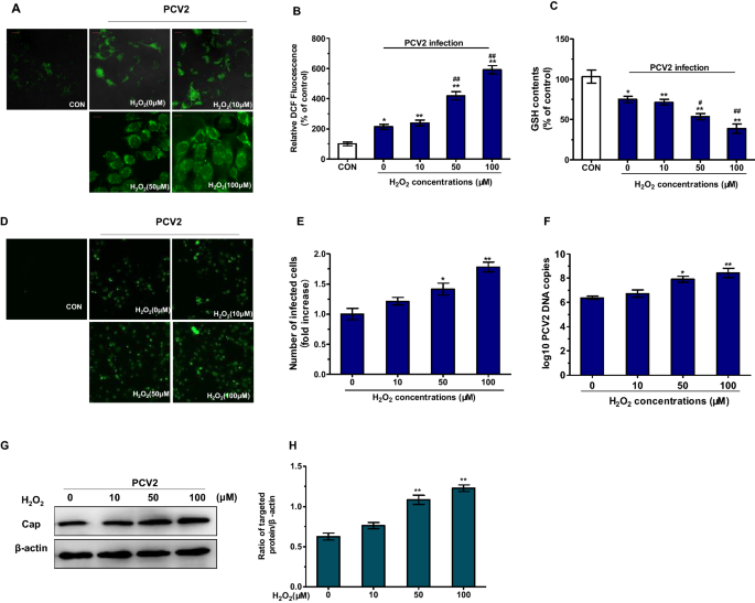 PCV2 replication promoted by oxidative stress is dependent on the