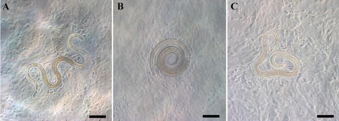 Trichinella zhts Riboxin parazitákból