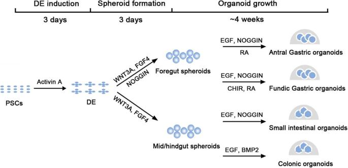 Generation Of 3d Human Gastrointestinal Organoids Principle And Applications Springerlink