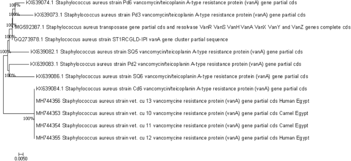Vancomycin-resistant Staphylococcus aureus isolated from camel meat