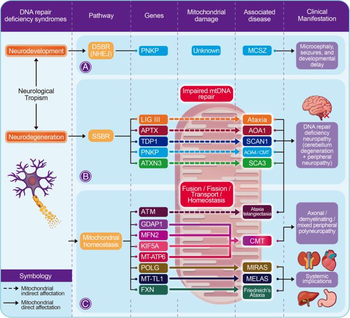 DNA repair deficiency in neuropathogenesis: when all roads