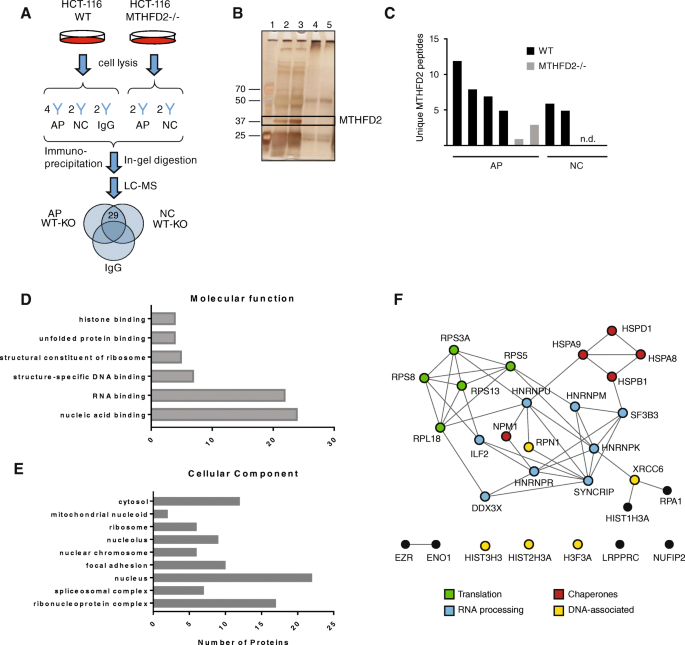 Protein interaction and functional data indicate MTHFD2