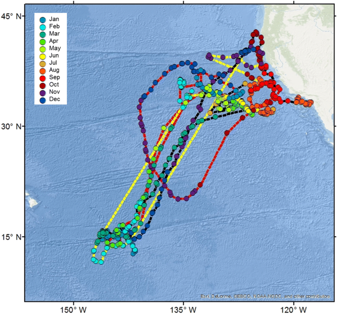 Movements Of Electronically Tagged Shortfin Mako Sharks Isurus Oxyrinchus In The Eastern North Pacific Ocean Animal Biotelemetry Full Text