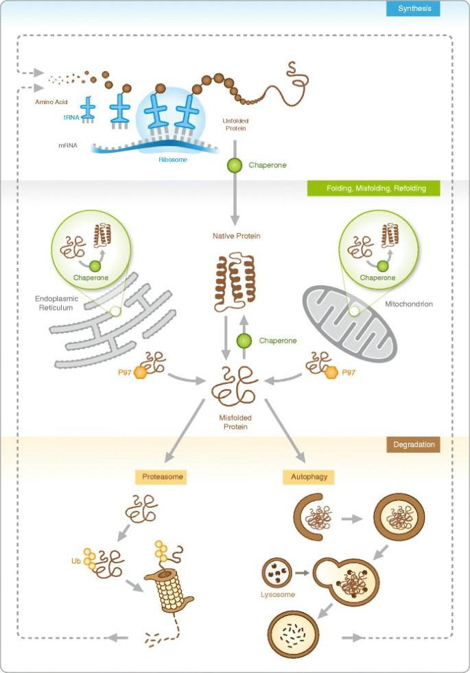 Proteostasis in pediatric pulmonary pathology | Molecular ...