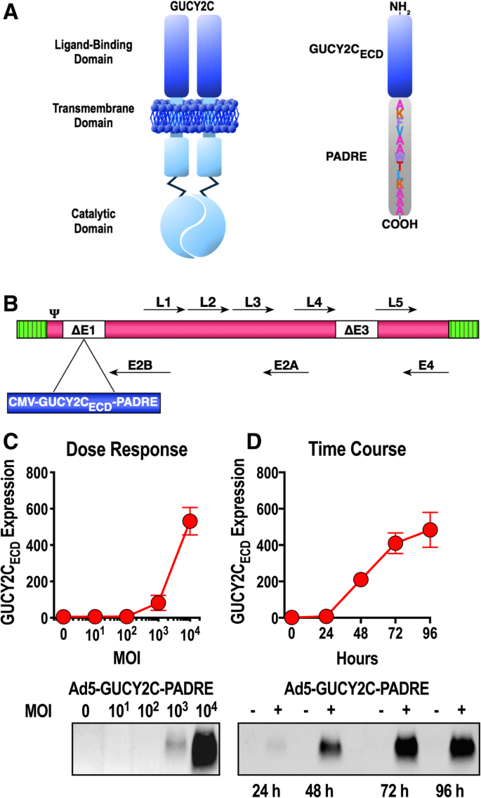 Split tolerance permits safe Ad5-GUCY2C-PADRE vaccine-induced T-cell