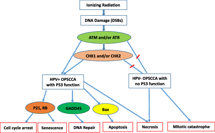 The molecular mechanisms of increased radiosensitivity of HPV