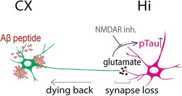 -amyloid induces a dying-back process and remote trans-synaptic ...