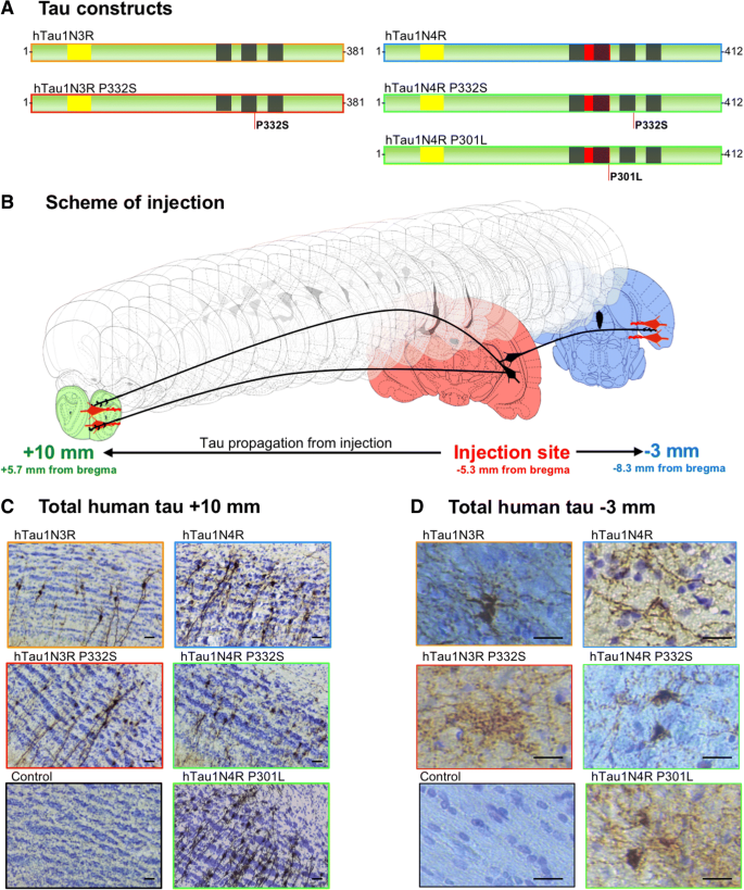 Different tau species lead to heterogeneous tau pathology ...