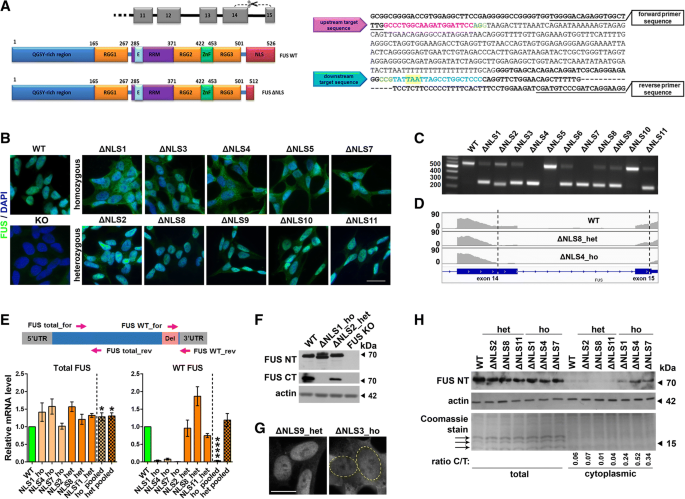 ALS-linked FUS mutations confer loss and gain of function in the
