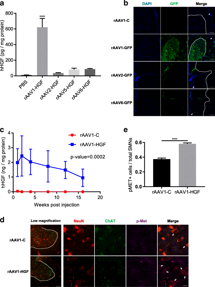 Intrathecal delivery of recombinant AAV1 encoding hepatocyte growth