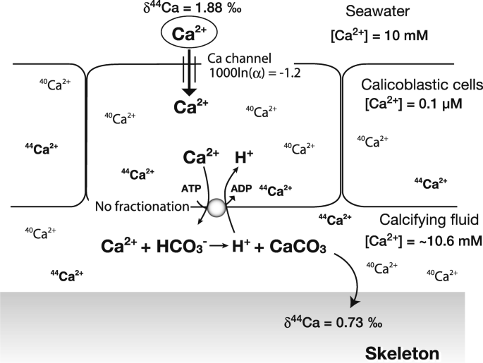 Perspective on the response of marine calcifiers to global