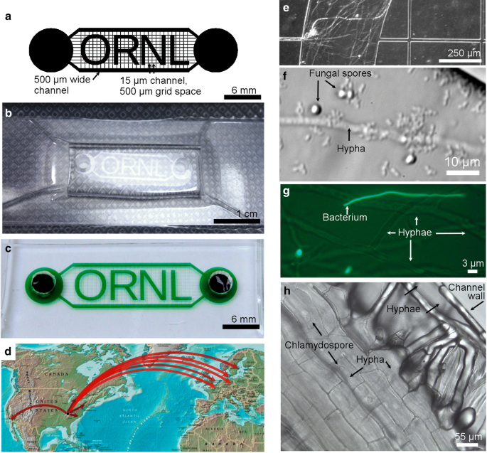 Increasing access to microfluidics for studying fungi and