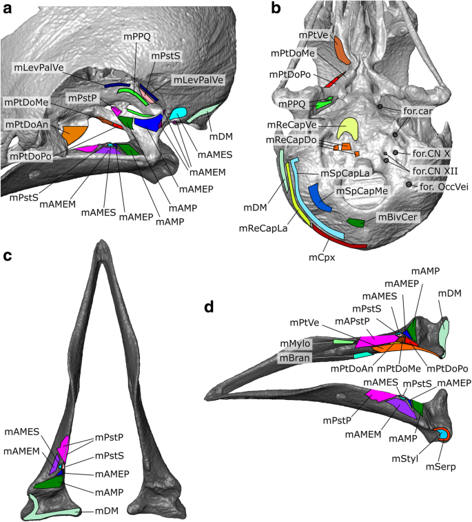 Digital dissection of the head of the rock dove ( Columba