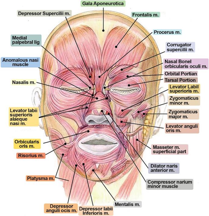 under chin muscle diagram application of botulinum toxin in maxillofacial field part i  application of botulinum toxin in