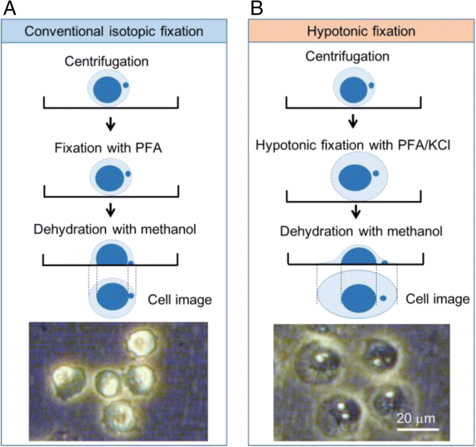 High-content imaging analyses of  H2AX-foci and micronuclei in TK6 ...