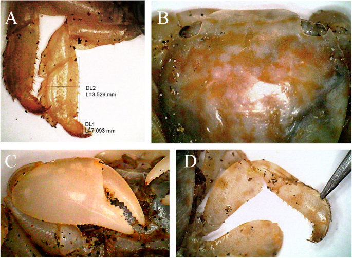 First Record Of Columbus Crab Planes Minutus Crustacea Decapoda Brachyura Grapsidae Linnaeus 1758 For The Northwestern Indian Ocean Marine Biodiversity Records Full Text