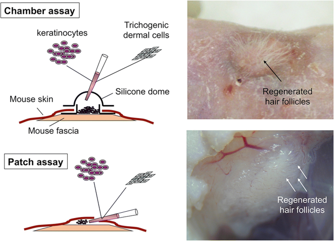 Use of human intra-tissue stem/progenitor cells and induced