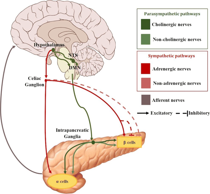 Review of the role of the nervous system in glucose homoeostasis ...