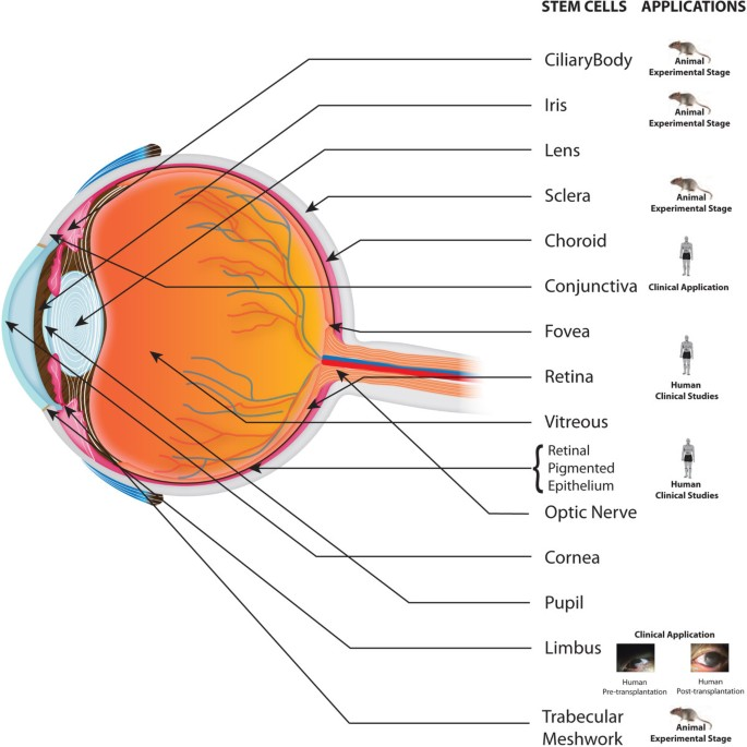 Ocular stem cells: a status update!   Stem Cell Research