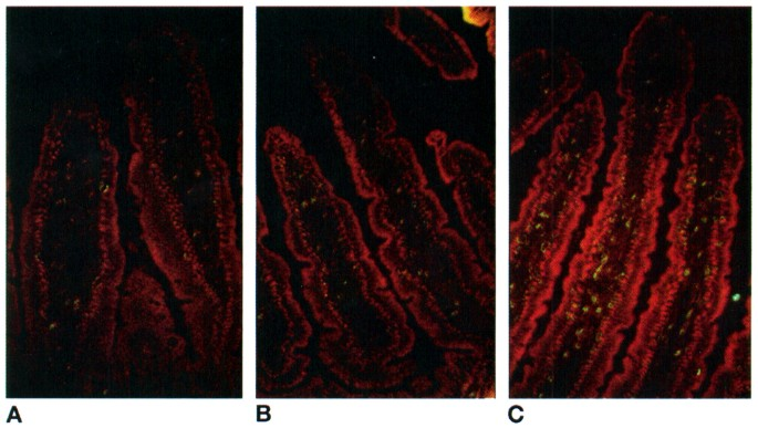 Chronic Oral Antigen Exposure Induces Lymphocyte Migration in