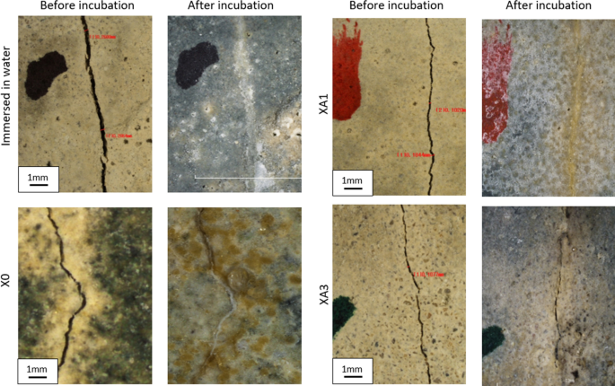Self-healing of bio-cementitious mortar incubated within neutral ...