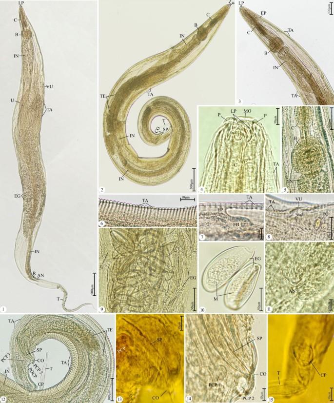 A pinworms eket továbbítják. Pinworms a tüdőben és az orrban - A testen A pinworms lefogy
