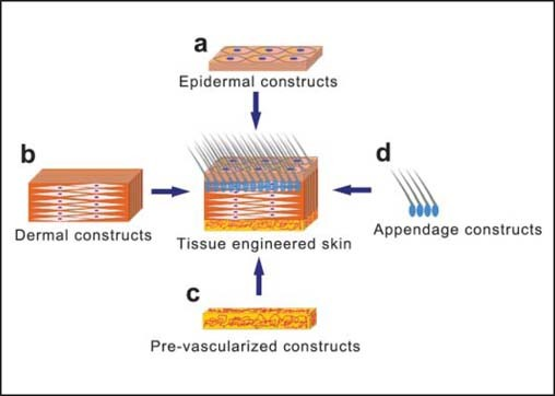 seed cells for skin tissue engineering