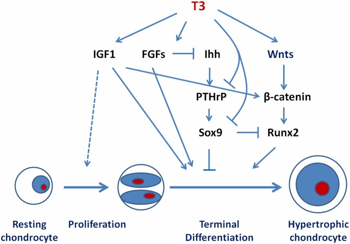 Role And Mechanisms Of Actions Of Thyroid Hormone On The Skeletal