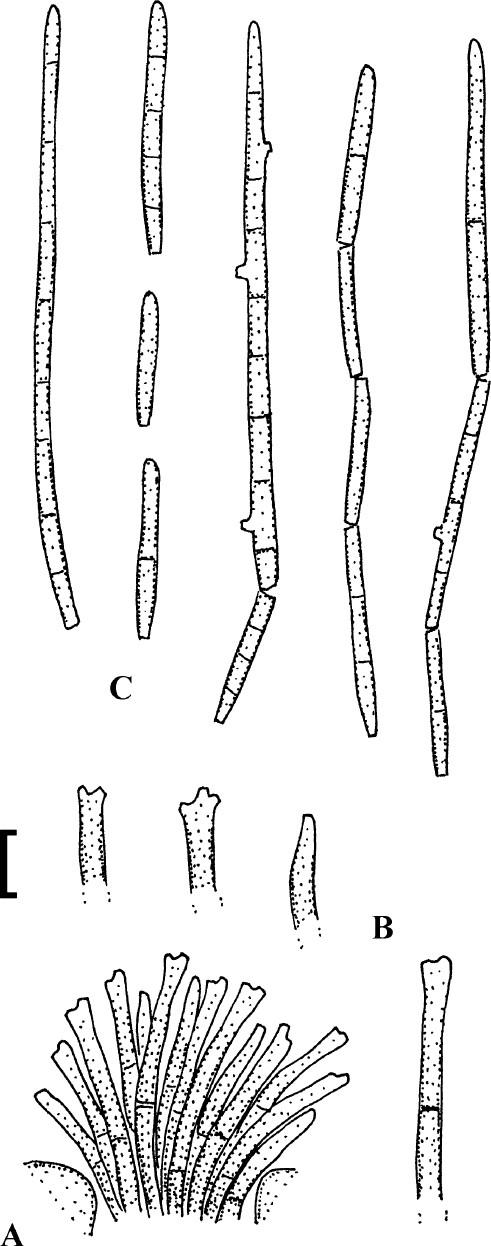 Cercosporoid fungi (Mycosphaerellaceae) 2  Species on