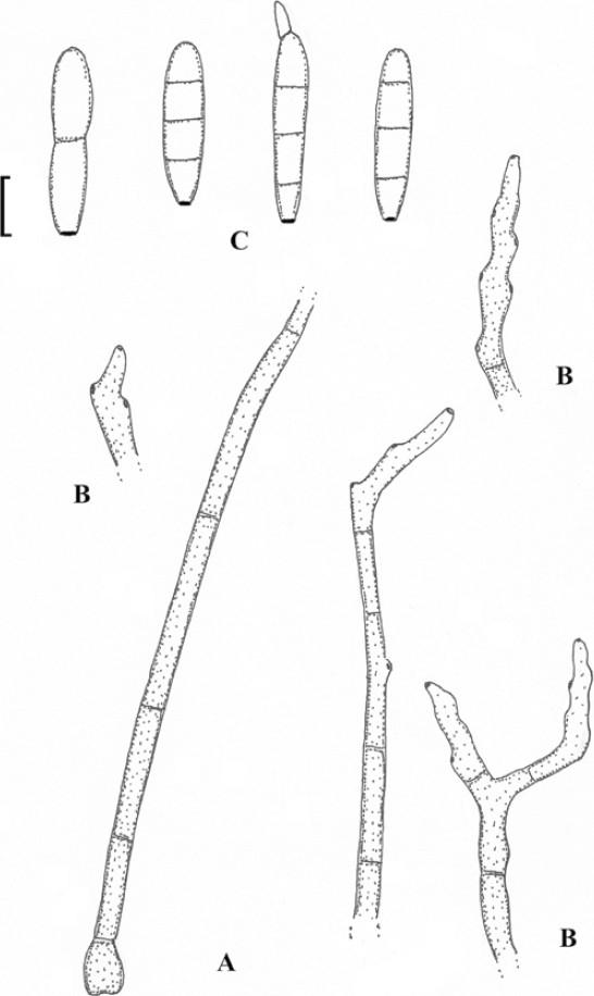 hongo helminthosporium sacchari