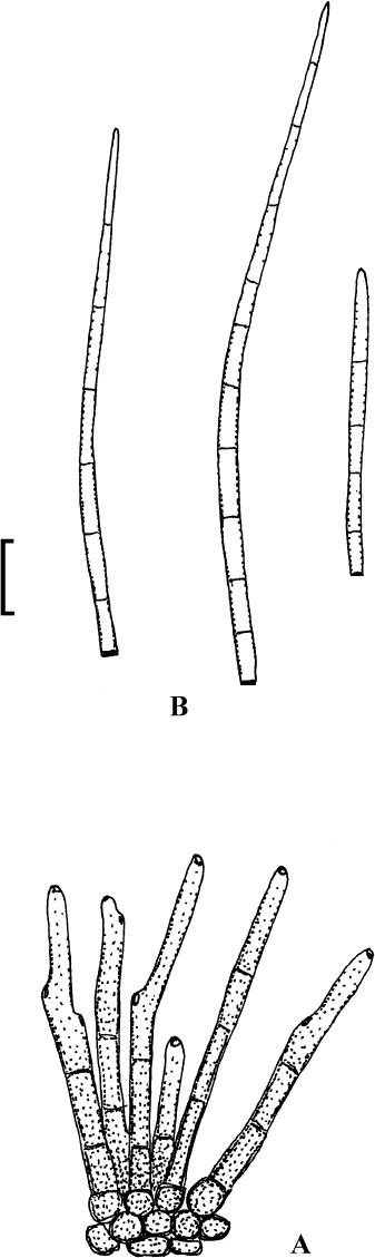 hongo helminthosporium sacchari)