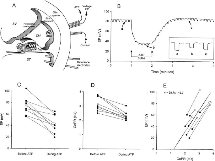 Purinergic Modulation Of Cochlear Partition Resistance And
