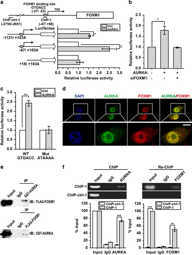 Oncotarget | FoxM1 promotes breast tumorigenesis by