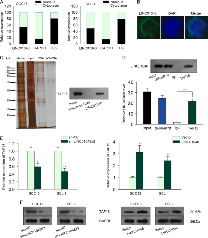USF1-induced Upregulation Of LINC01048 Promotes Cell