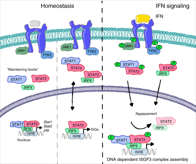 A Molecular Switch From STAT2-IRF9 To ISGF3 Underlies