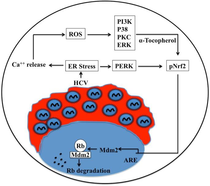 Activation of PERK-Nrf2 oncogenic signaling promotes Mdm2 ...