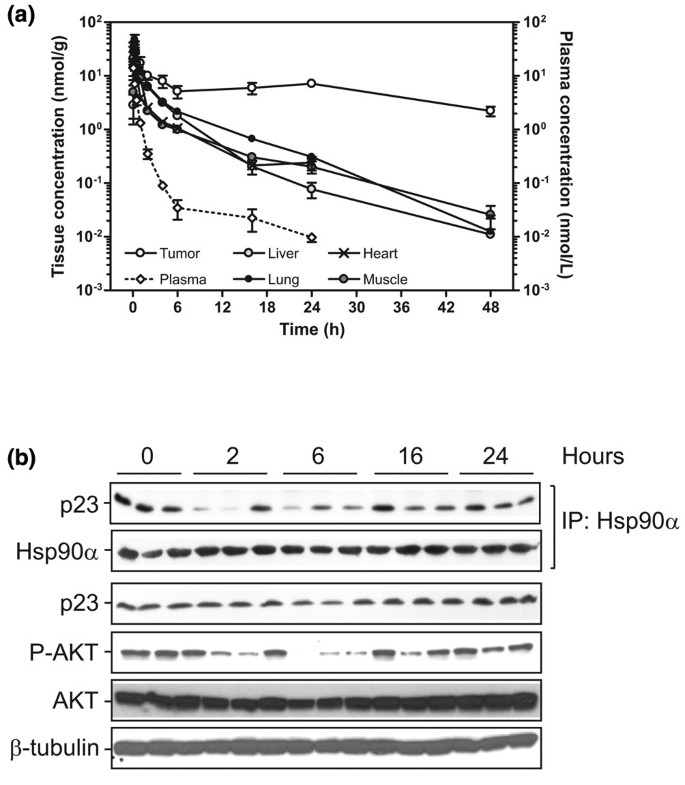 NVP-AUY922: a small molecule HSP90 inhibitor with potent