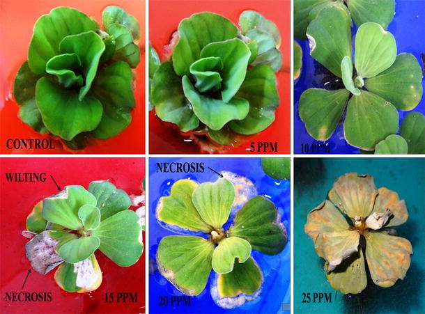 A Study on Cadmium Phytoremediation Potential of Water Lettuce
