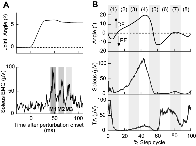 Modulation of soleus stretch reflexes during walking in