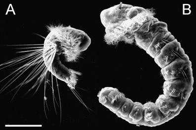 Feeding by larvae of two different developmental modes in