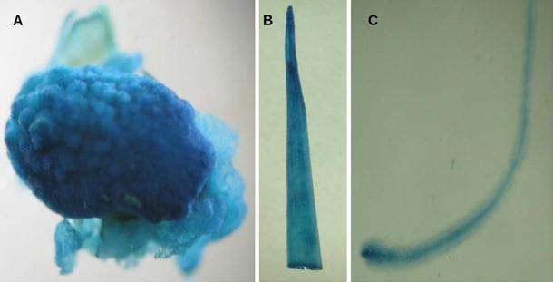 5′ Regulatory region of ubiquitin 2 gene from Porteresia coarctata