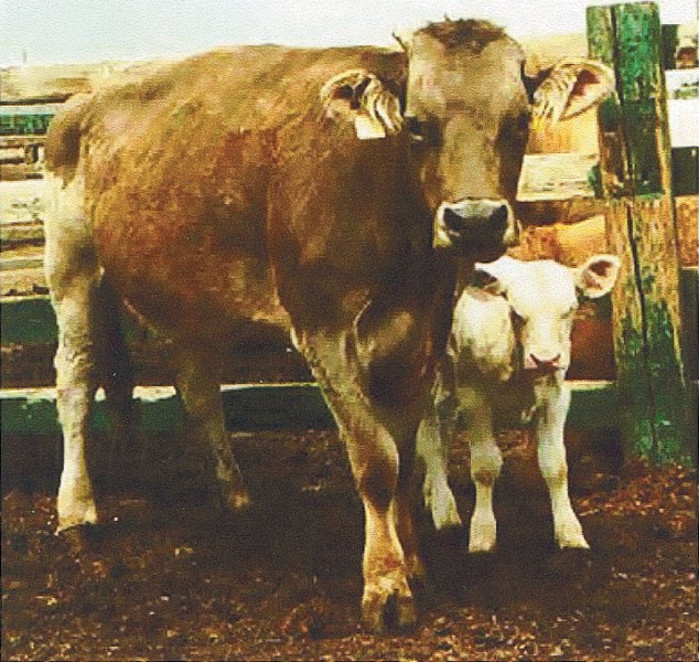 A form of albinism in cattle is caused by a tyrosinase ...