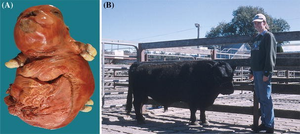 bulldog dwarfism in dexter cattle is caused by mutations in acan rh link springer com