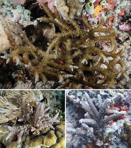 Coral-mimicking Alga Eucheuma Arnoldii Found At Ashmore